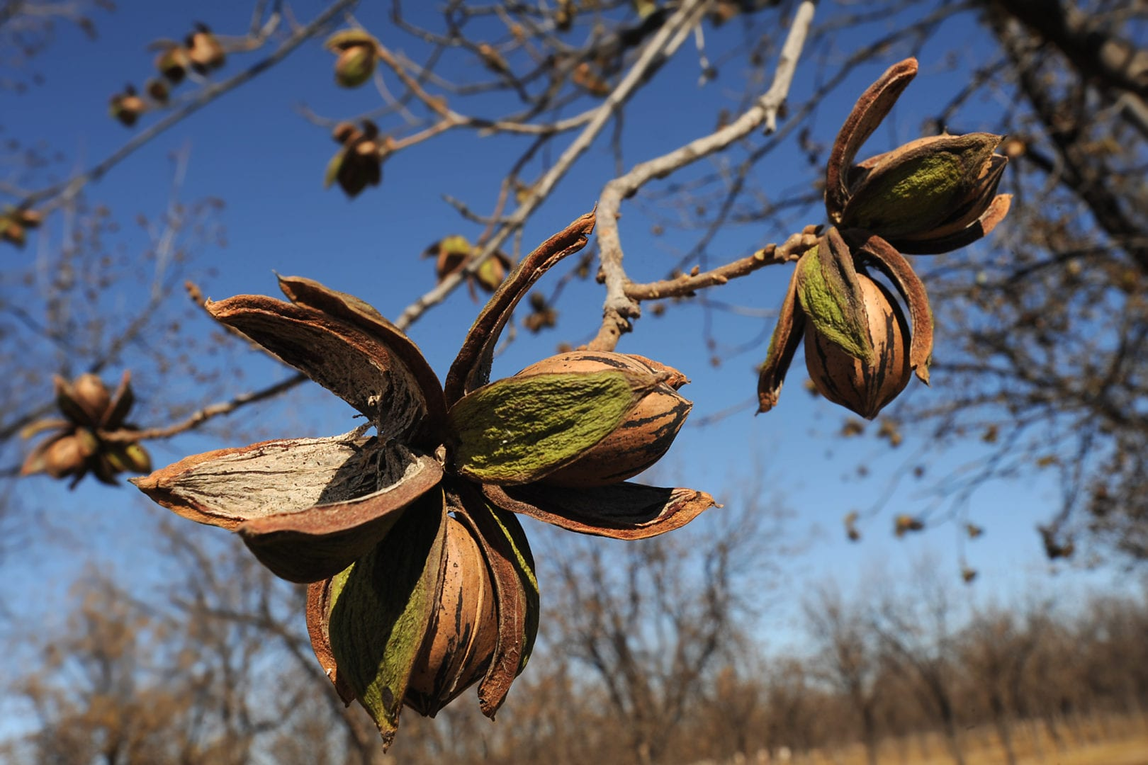 pecan nuts on the tree ready to fall to the ground