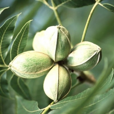 Pecan nuts, pecan trees for sale, bareroot and container pecan trees, retail and wholesale pecan nursery for pecan tree sales.