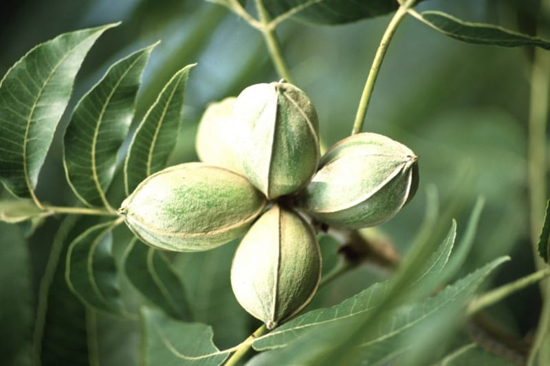 Pecan Planting Guide: Tips On Growing & Caring For Pecan Trees