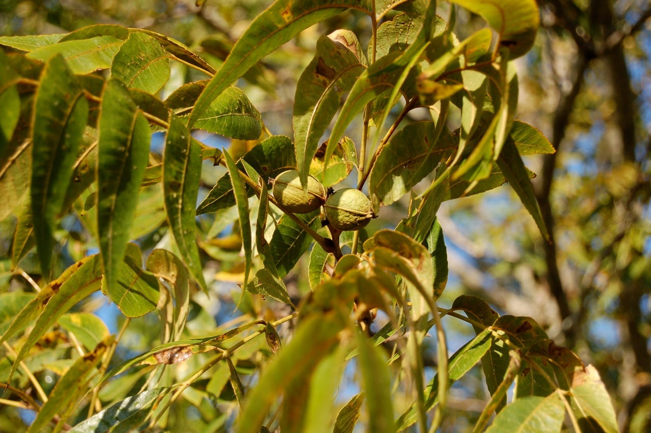 Pecan – Plant and Nut