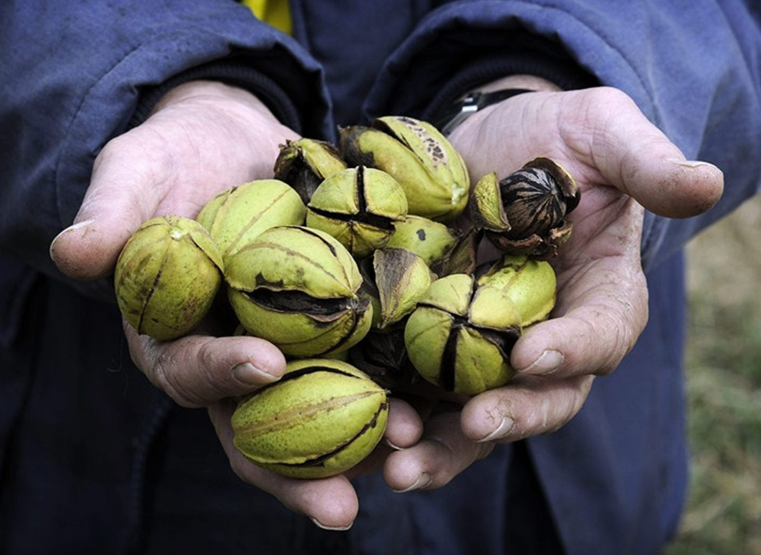 Hands holding pecans from pecan trees for sale