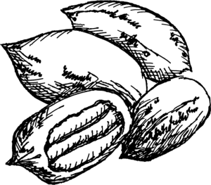 sketch of pecans to represent pecan trees for sale