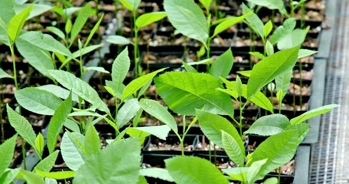Pecan Tree Saplings Whole Nursery Retail