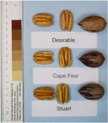 Cape-Fear pecan trees, pecan tree nursery for pecan tree sales, a wholesale pecan nursery for wholesale pecan trees.