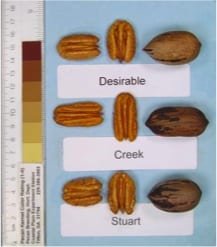 Creek, Desirable and Stuart pecans, pecan tree nursery for pecan tree sales, a retail and wholesale pecan nursery for wholesale pecan trees.