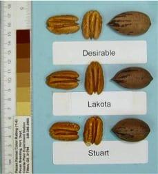 Pecan tree nursery Lakota, Desirable and Stuart pecans, pecan tree sales on our wholesale and retail pecan nursery.