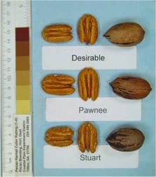 Pawnee, Stuart and Desirable pecans, a pecan tree nursery with container and bareroot pecan trees for sale, we are a wholesale pecan nursery.