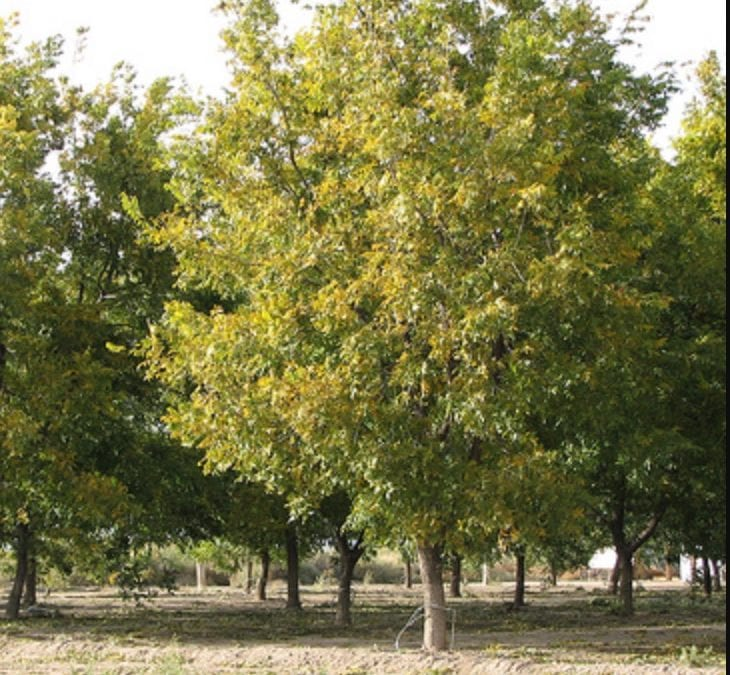 Pruning A Pecan Tree: Tips On Cutting Back Pecan Trees