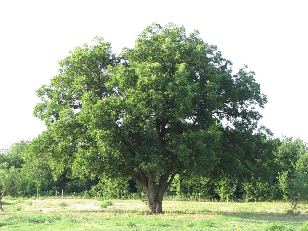 A pecan tree, pecan tree nursery with pecan tree sales, wholesale pecan trees and bareroot pecan trees for sale at our nursery.
