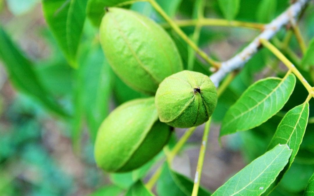 Tips on How to Care for Pecan Trees