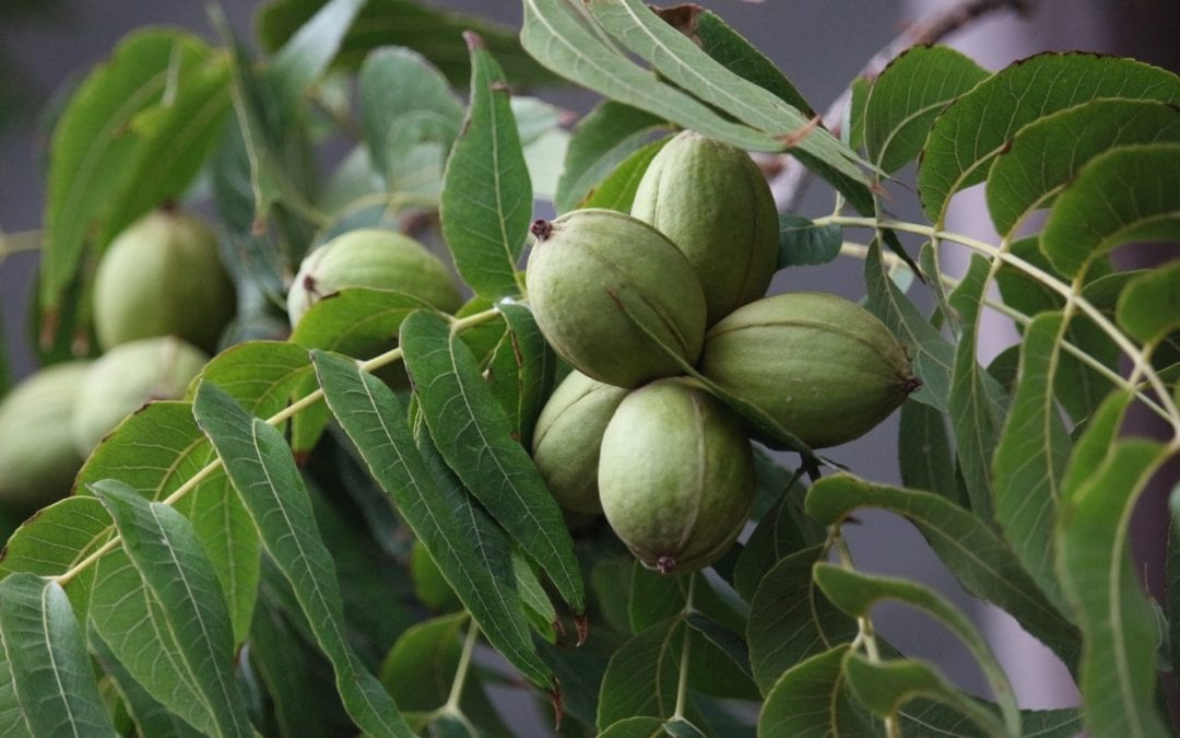 How to Make Your Pecan Tree Produce