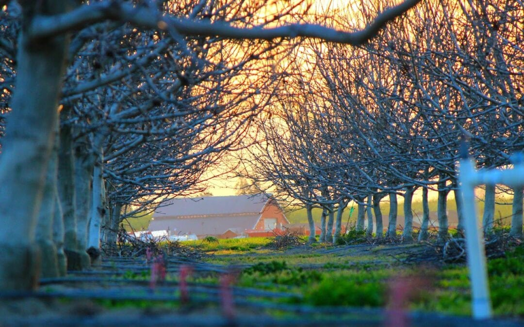 Tips for the Best Pecan Tree Production